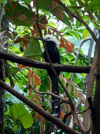 Bronx Zoo : long tailed hornbill