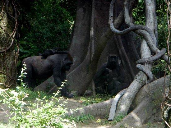 Bronx Zoo : gorillas