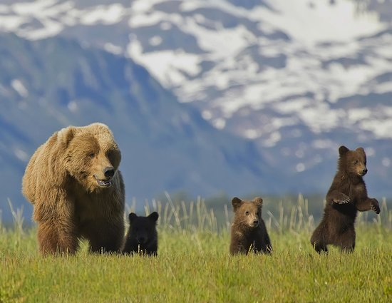 Alaska Bear Adventures: out for the day with mom