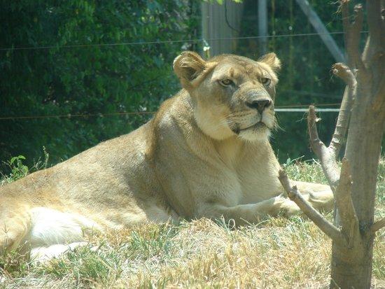 Birmingham Zoo : The Lioness