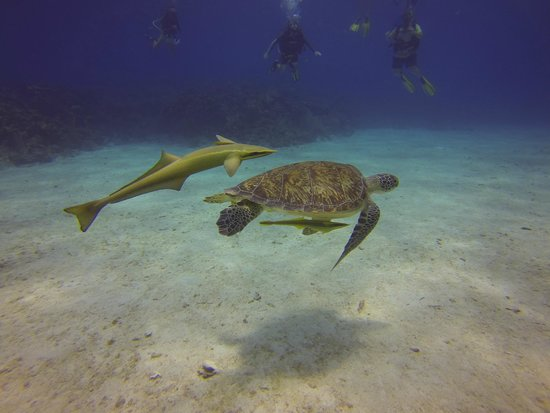 West End Divers: Turtle with Remoras