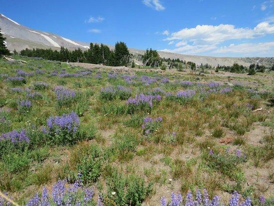 Timberline Lodge Ski Area: Mount Hood summer meadow