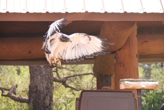 The Arboretum at Flagstaff : bird of prey show