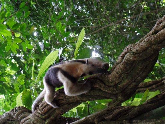 Copa de Arbol Beach and Rainforest Resort: Anteater in Corcovado park