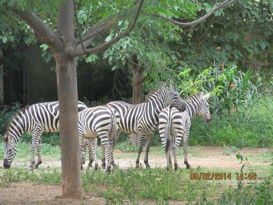 Sri Chamarajendra Zoological Gardens,Mysore Zoo: Zebra