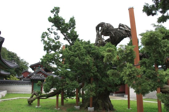Palais de Changdeokgung : This tree is supposed to be over 750 years old