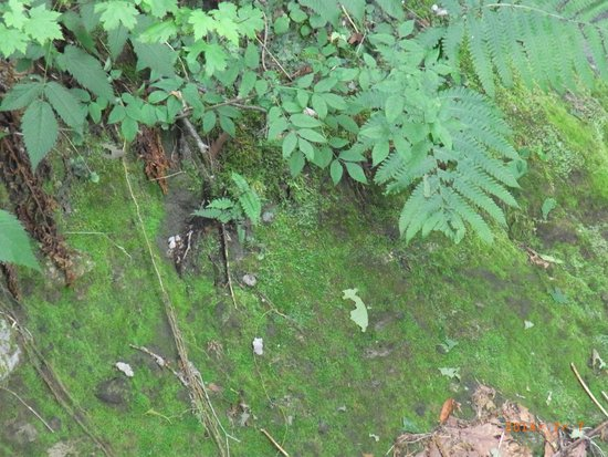 Kokenodomon: close up view of moss