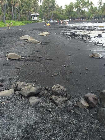 Punalu'u Black Sand Beach Park: 6 sea turtles taking advantage of the black sand blanket below them