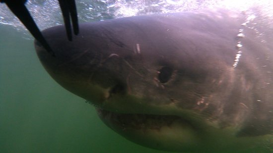 Great White Shark Tours: This was about 30 cm from my face!