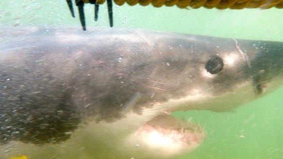 Great White Shark Tours: Apex Predator