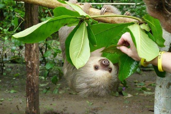 Tree of Life Wildlife Rescue Center and Botanical Gardens: Een jonge luiaard, die als wees is binnengebracht