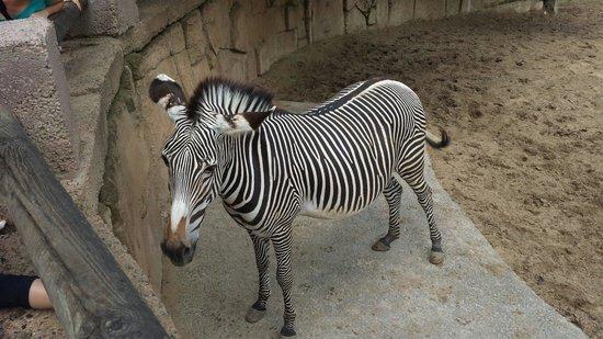 La Palmyre Zoo : Zebre