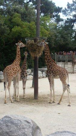 La Palmyre Zoo : Girafes