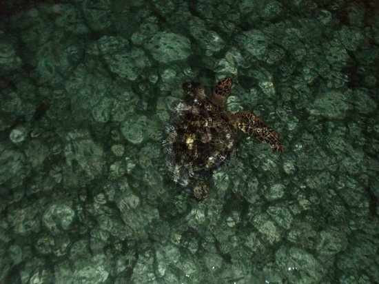 Sipadan Water Village: Spot a Turtle under the restaurant
