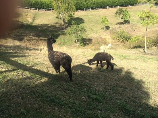 Blue Summit Cottages : Alpacas on the property
