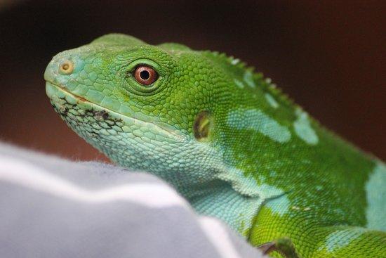 Kula Wild Adventure Park : Iguana