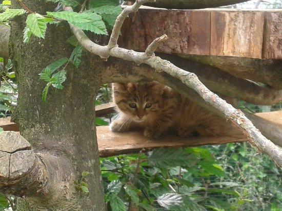 Parc Animalier Des Pyrenees: un des bébés chats sauvages né au parc