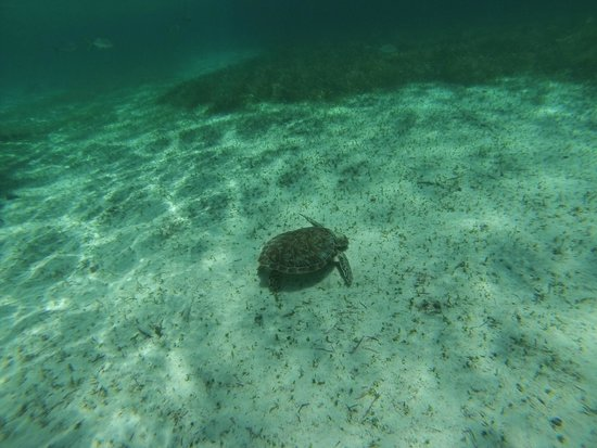 Caveman Snorkeling Tours: turtle