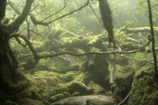 Shiratani Unsuikyo Valley: 森3