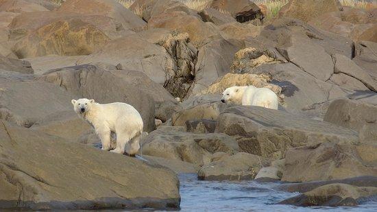 Lazy Bear Lodge : Polar Bears