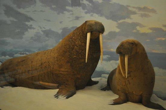 Denver Museum of Nature & Science: Walrus