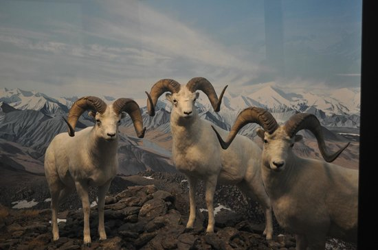 Denver Museum of Nature & Science: Mountain Goat