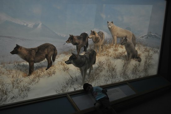 Denver Museum of Nature & Science: Wolves