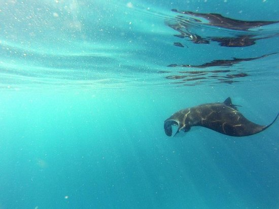 Lady Elliot Island Eco Resort : Manta!