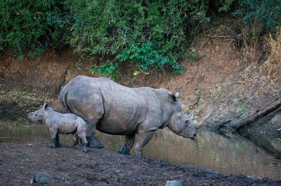 Zulu Nyala Heritage Safari Lodge: rhino and baby
