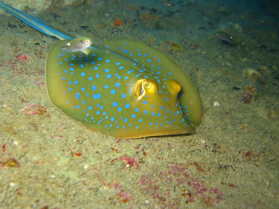 Perhentian Islands : blue spotted ray