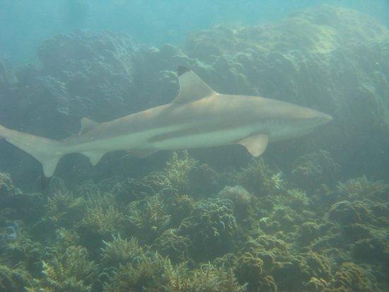 Perhentian Islands : black tip reef shark