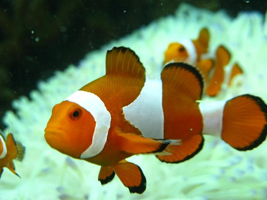 Perhentian Islands : nemo (clown fish)