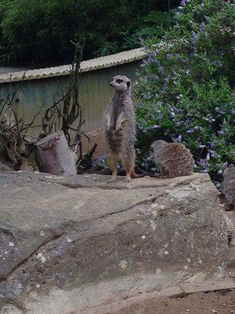 Newquay Zoo: Meercats