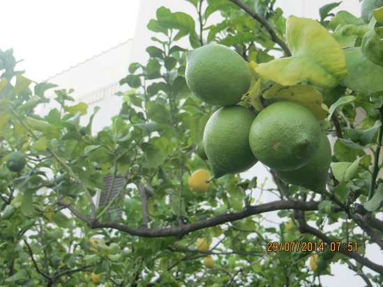 Hotel Torre Oliva : Un particolare del giardino dei limoni