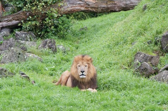 Auckland Zoo: Lion
