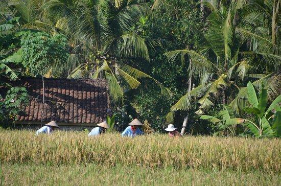 Villa Taman di Blayu: Culture di riz à l'ancienne