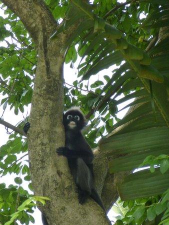 Four Seasons Resort Langkawi, Malaysia: Dusky leaf monkey smiling on us