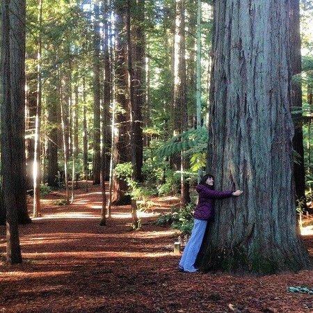 Redwoods, Whakarewarewa Forest: Redwoods