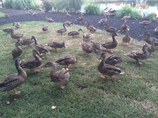 Fulton Steamboat Inn: Ducks...lots of them