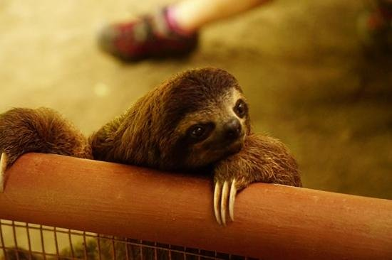 Fundación Jaguar Rescue Center: Bob the 3-toed sloth