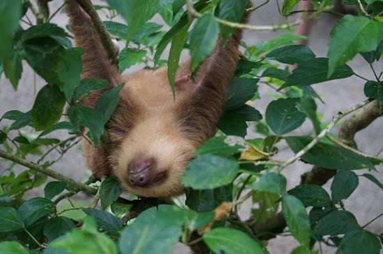 Foundation Jaguar Rescue Center: another sloth, a 2-toed sloth also called Bob