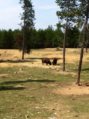 Silverwood Theme Park: Cool to see buffalo lounging on the fringes of the park.  Take the train ride to see them.