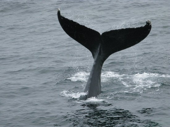 New England Aquarium Whale Watch : whale tail
