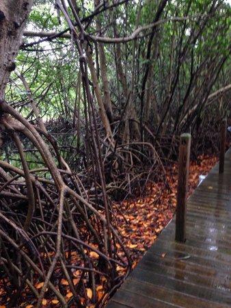 Theater of the Sea: White Mangrove tree