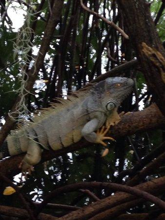Theater of the Sea: Iguana