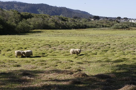 Mission Ranch : The meadow and it's sheep