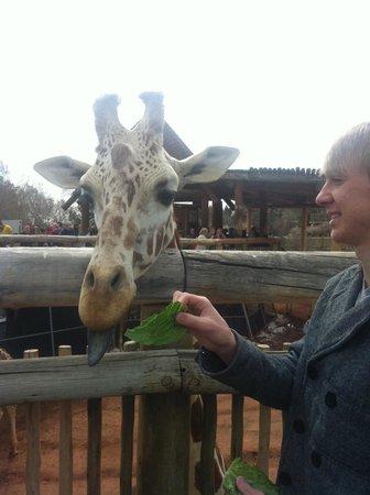 Cheyenne Mountain Zoo : feeding giraffes