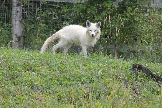 Parc Oméga : white fox