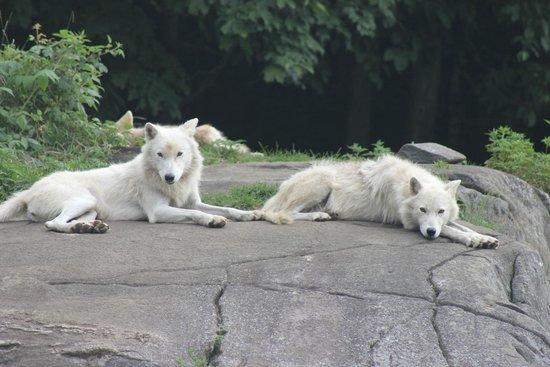 Parc Oméga : wolf