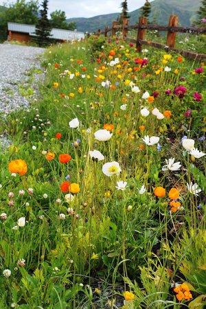 Matanuska Lodge: Wild flowers